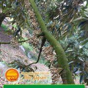 Kỹ thuật chăm sóc cây sầu riêng giai đoạn ra mắc cua ra hoa